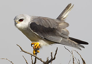 Black-winged kite Raptor native to Eurasia