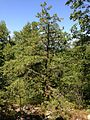 2014-08-25 12 57 42 Pitch Pine along the Appalachian Trail about 8.2 miles northeast of the Delaware Water Gap in the Delaware Water Gap National Recreation Area, New Jersey.JPG