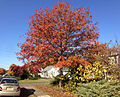 2014-10-30 10 01 33 Pin Oak during autumn leaf coloration along Dunmore Avenue in Ewing, New Jersey.JPG