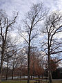 2014-12-30 12 16 41 Shagbark Hickory near Metzger Drive at the College of New Jersey in Ewing, New Jersey.JPG