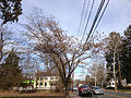 2014-12-30 13 10 14 Mimosa along Pennington Road (New Jersey Route 31) in Ewing, New Jersey.JPG