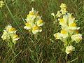 20140907Linaria vulgaris1.jpg