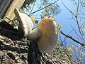 2015-10-06 Neolentinus lepideus (Fr.) Redhead & Ginns 561656.jpg