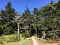 2017-05-16 10 10 59 View south along the Appalachian Trail through a grove of Fraser Fir trees on Pine Mountain, within the Mount Rogers National Recreation Area in Grayson County, Virginia.jpg