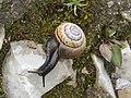 2017-06-25 (30) Arianta arbustorum (copse snail) at Schneeberg.jpg