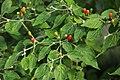 20171014 - Capsicum baccatum var. praetermissum - 3.jpg