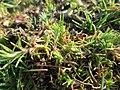 20190308Scleranthus annuus2.jpg