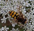 209 - bearbeitet Insekt auf Möhre.jpg