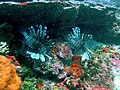 2 Lionfish on Fathom.JPG