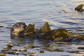 Tool use by sea otters - Sea otter in kelp