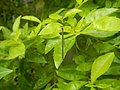 5662Zygoptera on leaves of the Philippines 02.jpg