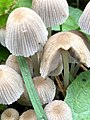 6730.Inktzwam.Fungi.Zwam.Paddenstoel Groningen Zwerminktzwam.jpg