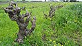 90 yr Old Grenache Vines.jpg