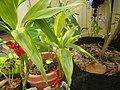 9639Ornamental plants in the Philippines 02.jpg