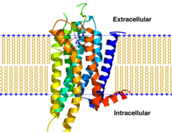 A2A receptor bilayer.png