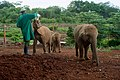A Caretakers Feeds a Baby Elephant at the Sheldrick Elephant Orphanage (16735530794).jpg