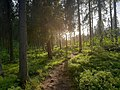A Karelian forest in June, 2021.jpg