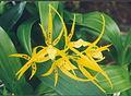 A and B Larsen orchids - Brassada Ada aurantiaca x Brassia 705-3.jpg