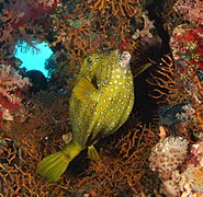A boxfish by a reef.jpg