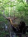 "A fallen tree from one side of the ecologial path ""Lisnyky"" - Упавшее замшелое дерево сбоку от экологической тропинки ""Лесники"" - panoramio.jpg"