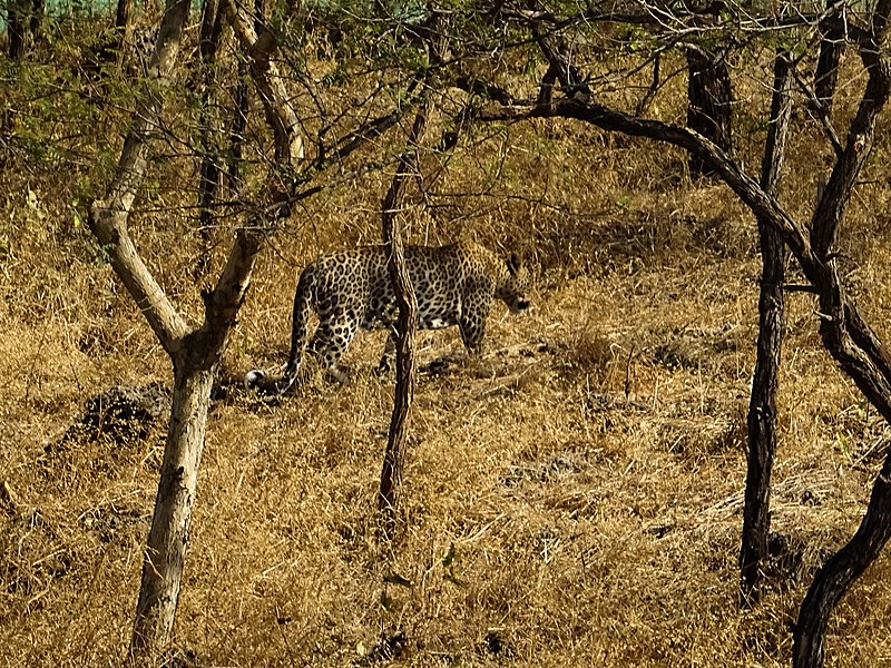 A leopard in captivity in gir forest.jpg