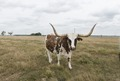 A longhorn steer takes a break from grazing at the George Ranch Historical Park, a 20,000-acre working ranch in Fort Bend County, Texas LCCN2014633306.tif