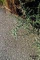 A particularly vicious thorn-bush (34822646182).jpg