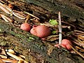 A slime mould - Lycogala epidendrum - geograph.org.uk - 2591294.jpg