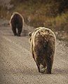 A sow and her cubs walk along the park road near the Sable Pass closure sign on Sept. 1, 2019. (dfe14d1b-c107-4f56-9ca0-6958b3150b9c).JPG