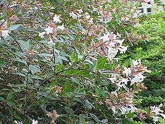 Abelia floribunda3.jpg