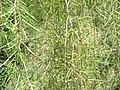 Acacia-estrophiolata-foliage.jpg