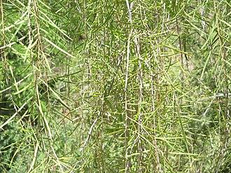 Acacia estrophiolata - Acacia estrophiolata Foliage