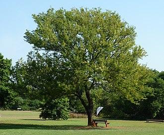 Senegalia caffra - Image: Acacia caffra, habitus, Pretoria NBT