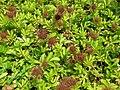 Acaena magellanica 01.jpg