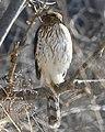 Accipiter cooperii Humber Bay Toronto1.jpg