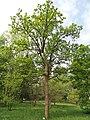 Acer miyabei - Botanischer Garten München-Nymphenburg - DSC07563.JPG