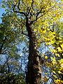 Acer pseudoplatanus (10).JPG