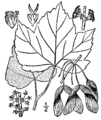 Acer rubrum drummondii drawing.png