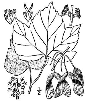 Drummond's Maple. Drawing.