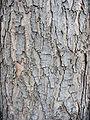 Acer saccharinum textura del tronco.jpg