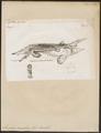 Acipenser maculosus - 1700-1880 - Print - Iconographia Zoologica - Special Collections University of Amsterdam - UBA01 IZ14400019.tif