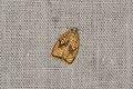Acleris forsskaleana (35708389673).jpg