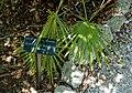 Acoelorrhaphe wrightii - Marie Selby Botanical Gardens - Sarasota, Florida - DSC01584.jpg