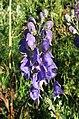 Aconitum napellus inflorescence (41).jpg