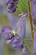 Aconitum septentrionale dissected flower D039 0284.jpg