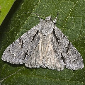 "Grey Dagger, Acronicta psiNote the typical ""dagger"" marks"