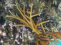 Acropora cervicornis (staghorn coral) (San Salvador Island, Bahamas) 1 (15513633663).jpg