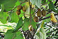 Actinidia deliciosa Kiwi Fruit კივი.JPG