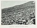 Adélie-penguin-Cape-Adare-Nests-colony1899-Carsten-Borchgrevink-groups.jpg