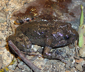 Tusked frog - Male Tusked Frog.